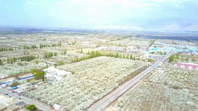 新疆库尔勒40万亩梨花似雪绽放,今年花期格外长