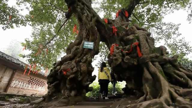 300年的两棵情人树合二为一周长近12米,背后凄美传说感人