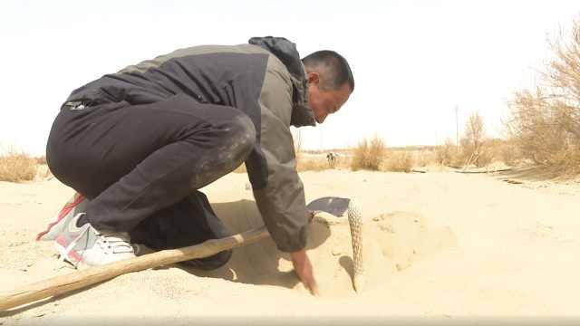 名贵中药材肉苁蓉为何能在沙漠生存?梭梭树功不可没
