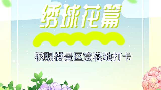 花明楼景区赏花地打卡——绣球花篇