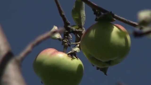 你知道苹果是怎么来的吗?全世界苹果的祖先居然就在中国