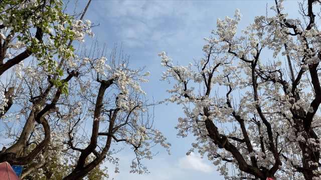 世界第一古梨园迎来盛花期,树王树后牵手400多年