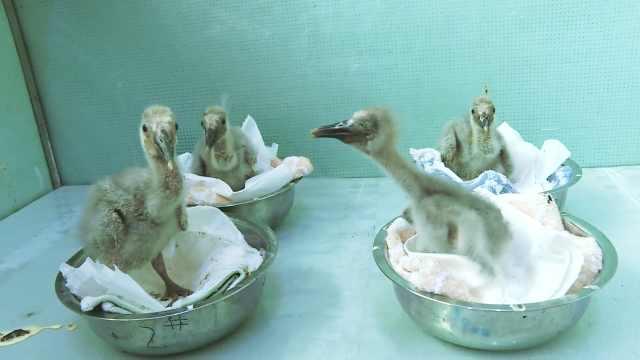 国宝朱鹮添新丁!陕西洋县人工孵化出11只朱鹮宝宝