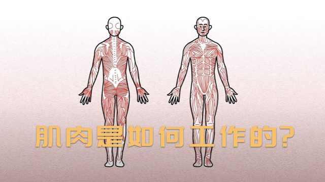 肌肉是如何工作的