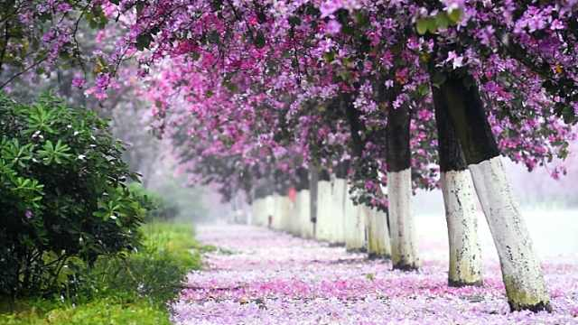"""""""酸雨之都""""柳州如何逆转为紫荆花城?"""