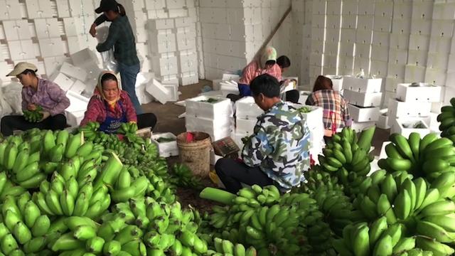 广西小米蕉一年卖出1个亿,当地农民年收入20万