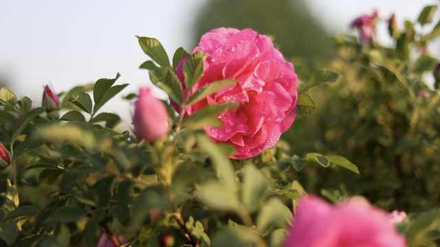 """蔷薇月季玫瑰是什么关系?专家:玫瑰与月季是""""亲姐妹"""""""