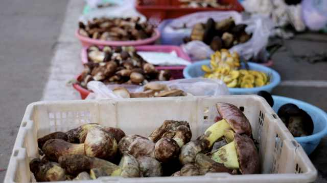 云南今年第一窝松茸上市!6万元一公斤未到市场就被抢光