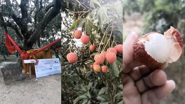 广东600年古荔树一年采摘权拍出168万:个头大肉质甜美