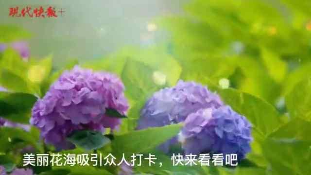 """绣球""""组团开放"""",去南京绣球公园赴一场""""花花的约会"""""""