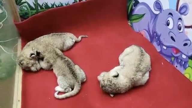 动物园母狮产下3崽,没哺育经验要弃养怎么办?
