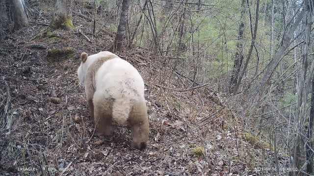 可可爱爱!西安再次发现野生棕色大熊猫