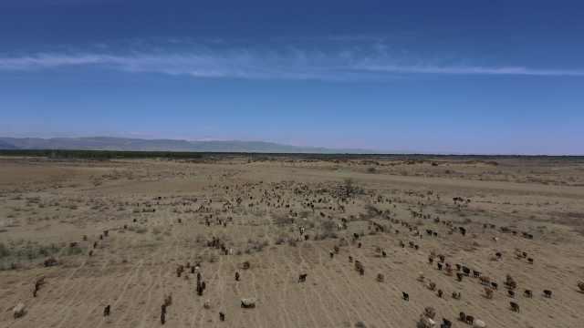 航拍新疆30万牲畜转场夏季牧场,日夜奔波浩浩荡荡绵延数公里