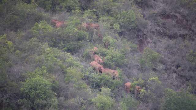 云南北迁象群仍在晋宁区夕阳乡活动,离群独象距象群10公里