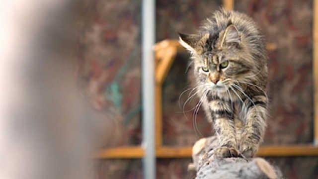 【犬猫物语】温柔的小巨人之缅因库恩猫