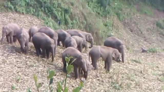 首个发现北迁象群生宝宝的监测员:希望小象取名高高或丽丽