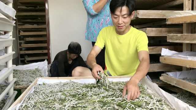 高材生辞20万年薪工作回秦岭山村养蚕:挣得不多,但很踏实