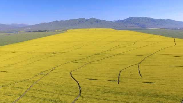 震撼航拍新疆百万亩油菜花盛开,如金色地毯一望无际