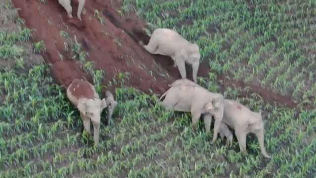 罕见!14头亚洲象在普洱玉米地集体