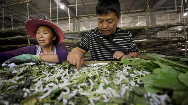 他每天和400万只蚕一起生活,蚕丝年产上万斤带动200人就业