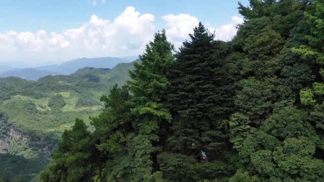 全世界不超2000株!金佛山发现一株古老银杉,形似黄山迎客松