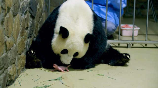 成都熊猫基地再上新!大熊猫昭美平安产下