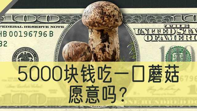 同样是菌子,松茸凭什么能卖上千元一斤?