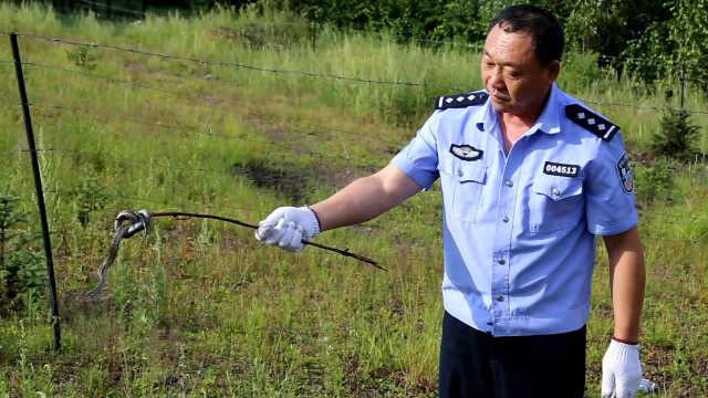 这种蛇首次出现在内蒙古根河,民警开车70公里放生却遇躲猫猫