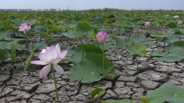 黑龙江一处荷花池遇极端天气成旱地,游客不用坐船就能摸到花