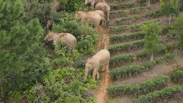北移亚洲象群返回普洱恰逢玉米成熟,直接躺平开启吃睡模式