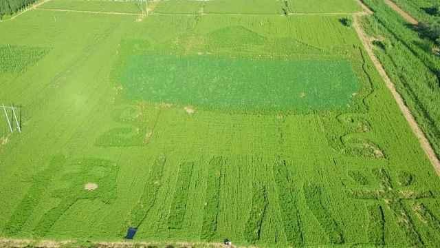 上万亩优质谷丰收在望!河南村民在43亩谷地里绘出巨鼎图案
