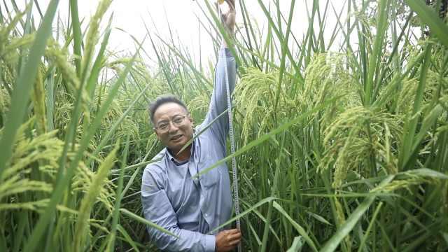 袁隆平的禾下乘凉梦成真了!2米高巨型稻在重庆试种成功