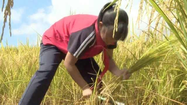 开学季|贵州小学生开学第一课收水稻,校长田间手把手教