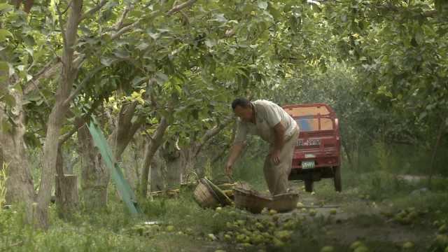 实拍新疆库尔勒46万亩香梨采收,梨农采摘需提前修剪指甲