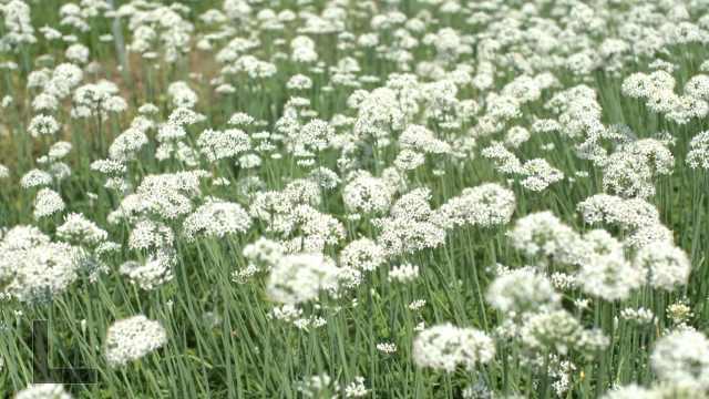 山东的韭菜能长一米多高,实拍千亩韭菜花如白雪遍野
