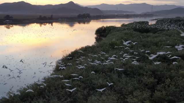 东北一昔日水淹地如今成鸟类天堂,数千只白鹭栖息如繁星点点