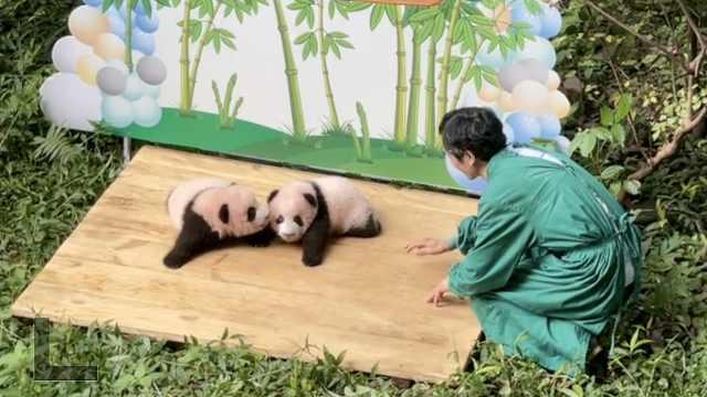 前方高萌!重庆大熊猫双胞胎兄弟满百天了,等你给它们取名字