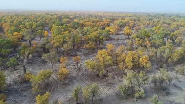 新疆100平方公里原始胡杨林迎最美季节,金色秋叶一望无际