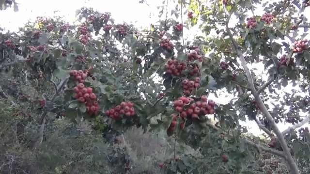 济南山楂第一村!1200亩山楂树年产160万斤,浇的都是山泉水