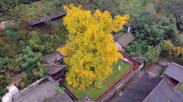 一树金灿!西安千年银杏树将迎最佳观赏期:还有半月完全金黄