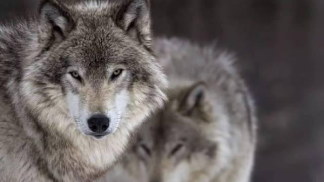 狼性文化对企业的巨大危害