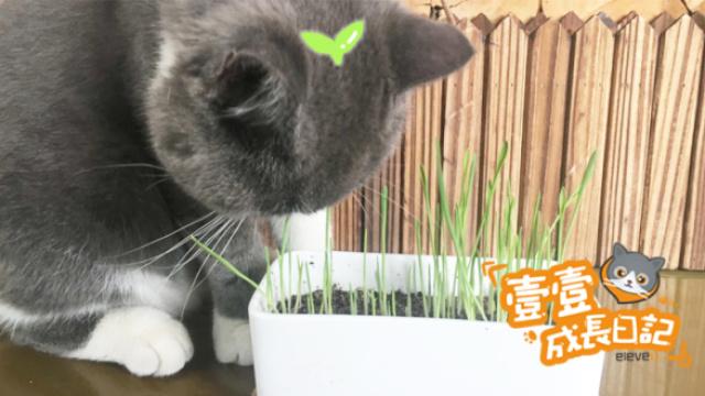 猫奴竟然把猫草种成韭黄