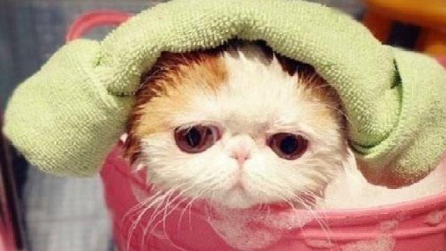 资深铲屎官告诉你该如何给猫洗澡