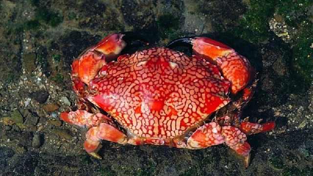 这种螃蟹竟有剧毒,三分钟毙人命
