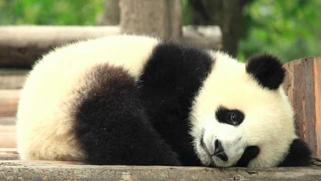 养一只大熊猫,到底需要花多少钱?