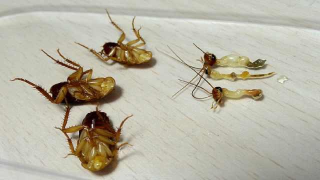 为什么蟑螂断头后,竟还能活一个月