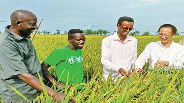 中国的杂交水稻在非洲迎来大丰收!