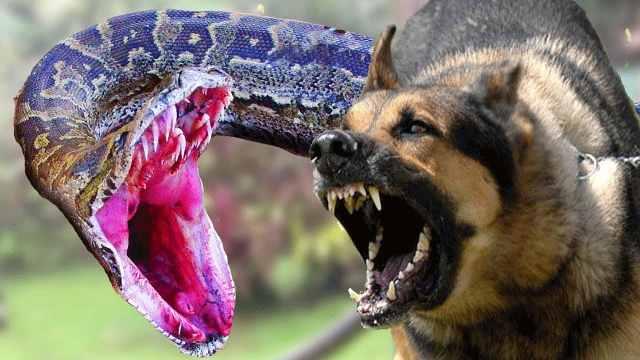 鬣狗和蟒蛇打架,到底谁能赢?