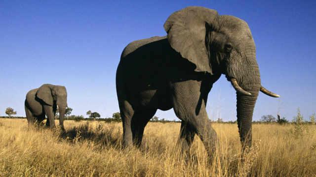 大象为什么走路一点声音也没有?