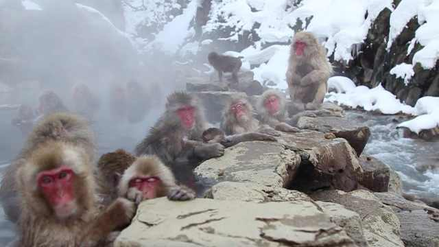 每年十万人来这里,看猴子泡温泉
